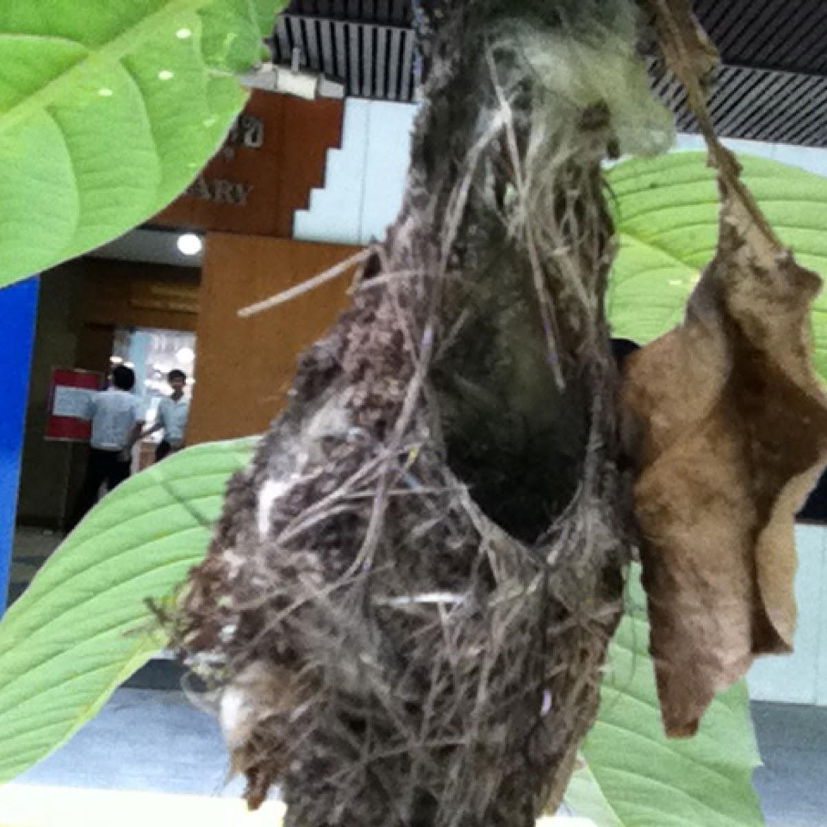 Olive-backed sunbird's nest