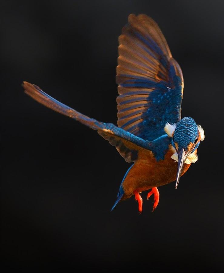 Hovering by Raj Dhage - Animals Birds ( nikon )