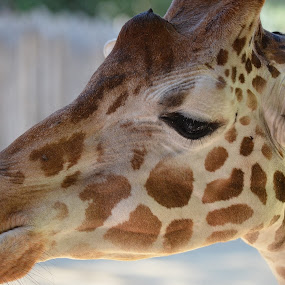 As Close As It Gets by Ed Hanson - Animals Other ( zoo, white, brown, big, eyes, animal )