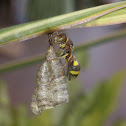 Banded Paper Wasp