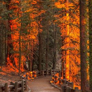 Sequoias (1 of 2).jpg