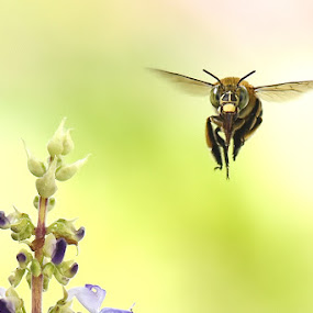 fly by Balox Berhati Nyaman - Animals Insects & Spiders ( flying, macro, nature, macro photography, bee, insect )