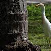 Cattle Egret (breeding plumage)