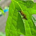 Chalcidid Wasp