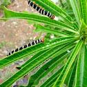 Frangipani caterpillars
