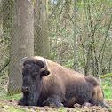 Plain's Bison