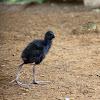 Purple Swamphen Chick