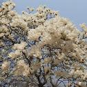 Mokuren Flower