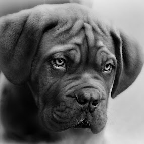 mmm please can i have  by Marie Leather - Animals - Dogs Portraits ( black and white, animal,  )