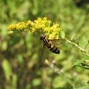 Helophilus trivittatus