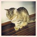 Domestic Cat / Hauskatze
