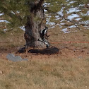Hairy Wooodpecker