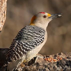 GFWP by Sandy Hurwitz - Animals Birds ( 2015, februrary, windmill blind, nopal, gold fronter woodpecker )
