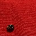 Decempuactata lady bug