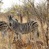 Burchell's/Plains zebra