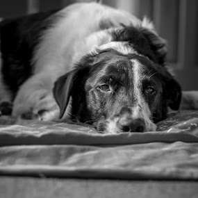It's a dogs life by Dave Angood - Animals - Dogs Portraits ( canine, face, bubba, dog, portrait )