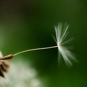 Dandelion by Milica Đorđević - Flowers Flowers in the Wild
