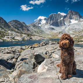 Ruby at Garnet Lake by Adam Collins - Animals - Dogs Portraits ( australian labradoodle, trotting, labradoodle, dog, chocolate labradoodle )