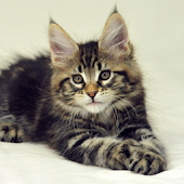 Maine Coon Kitty LWP