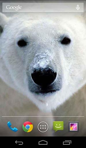 Polar Bear Live Wallpaper Free