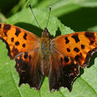 Comma, female, Summer Color Form