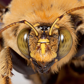 Portrait of a Carpenter Bee by Simon Joubert - Animals Insects & Spiders