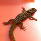 Big-scaled Least Gecko