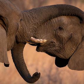 Friendship by Barbara Nolte - Animals Other Mammals ( big five, south  africa, elephant, pilanesberg, safari, southern africa, wildlife, african wildlife, africa, sun city )