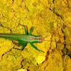 Green grasshoper