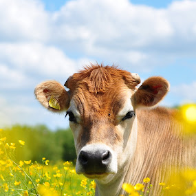 A meadow cow enjoying the Spring sunshine by Tony Steele - Animals Other Mammals ( buttercups cow meadow )