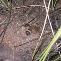 Plain Grass Frog