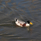 Domestic Duck