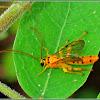 Yellow Ichneumon Wasp (Male)