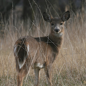 Doe by Ken Keener - Animals Other Mammals ( white-tailed deer, whitetail, doe, fawn, deer )