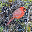 Northern cardinal (juvenile male)