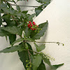 Pigeon Berry, Bloodberry, Rouge Plant, Baby Pepper, Coral Berry