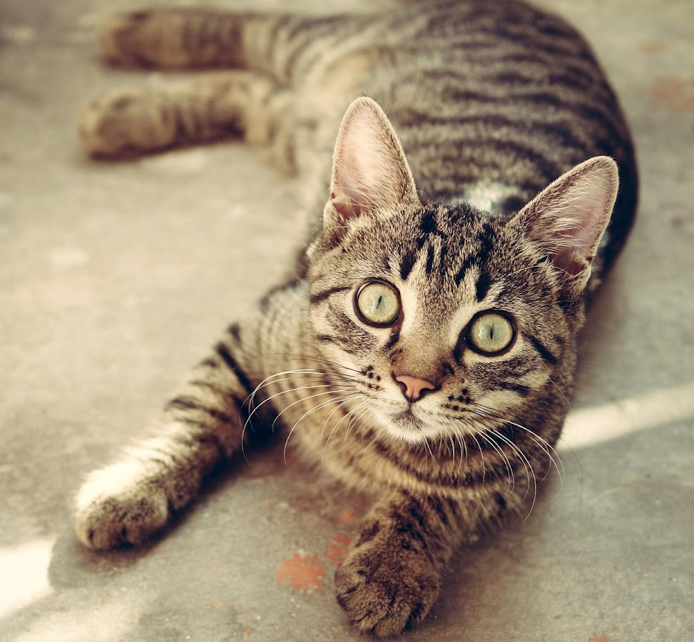 Wallpaper Gambar Kucing Apl Android Di Google Play