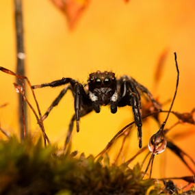 Balancing on the moss by AhMet özKan - Animals Insects & Spiders ( canon, macro, raynox, jumping spider, moss, spider )