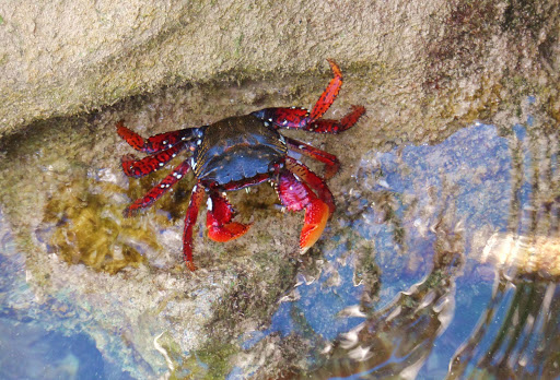 The Bermuda Land Crab, also known as the Blackback Land Crab and Red Land Crab.