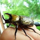 Eastern Rhinoceros Beetle