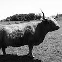 Mountain bull