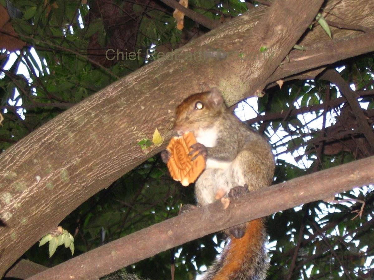Indian Palm Squirrel /Three-striped Palm Squirrel