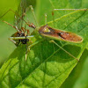 Green Assassin Bug