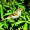 Leaf Warbler