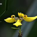 Land Orchid