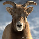 American Big Horn sheep