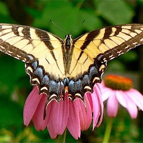 Butterfly on pink daisy. by Peter DiMarco - Animals Insects & Spiders ( butterfly, butterflyonpinkflower, pinkflowerwithbutterfly, summerbutterfly, butterflyandflower,  )