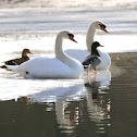Mute Swans (male & female) Mallard Ducks (male & female)