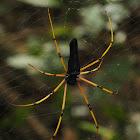 Black Wood spider
