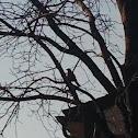 Michigan's State Bird: Robin(s)